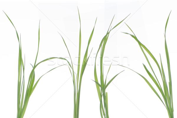 Green leaves Stock photo © homydesign