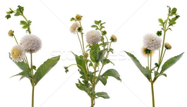 White dahlias Stock photo © homydesign