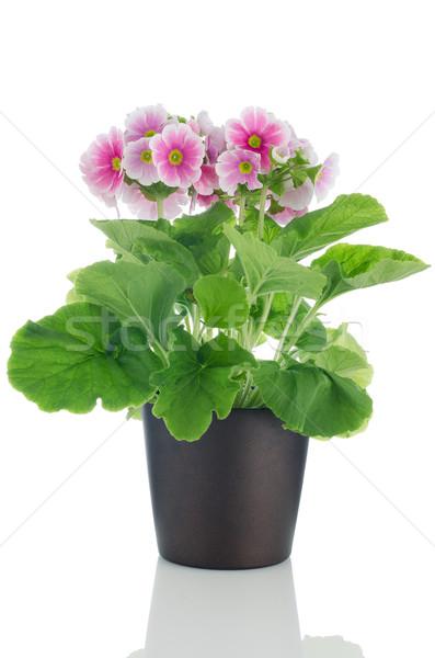 Belo rosa prímula flores escuro vaso Foto stock © homydesign