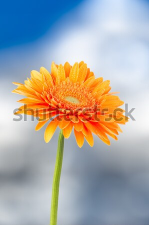 Orange gerbera daisy flower Stock photo © homydesign