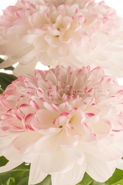 Gyönyörű krizantém virágok fehér virág tavasz Stock fotó © homydesign