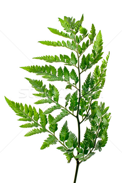 Fern leaf  Stock photo © homydesign