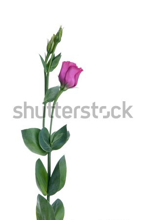 Belo flor-de-rosa vista lateral isolado branco beleza Foto stock © homydesign
