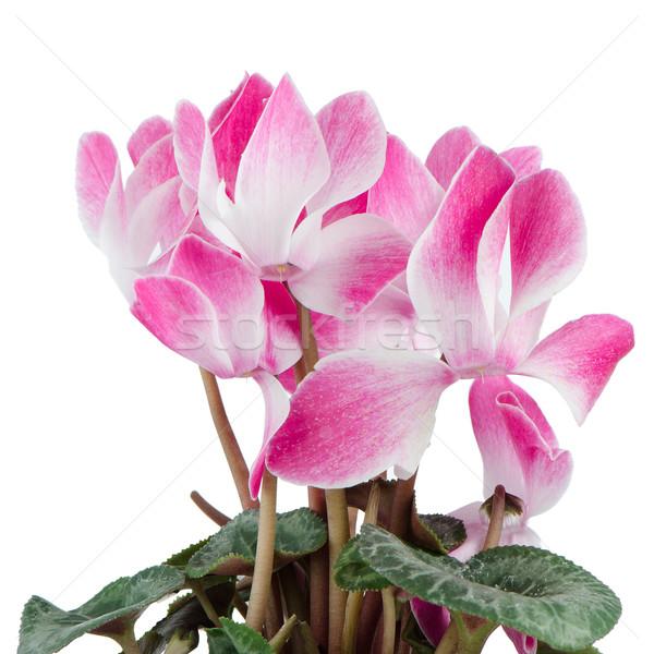 Сток-фото: красивой · розовый · цветок · темно · цветочный · горшок · белый