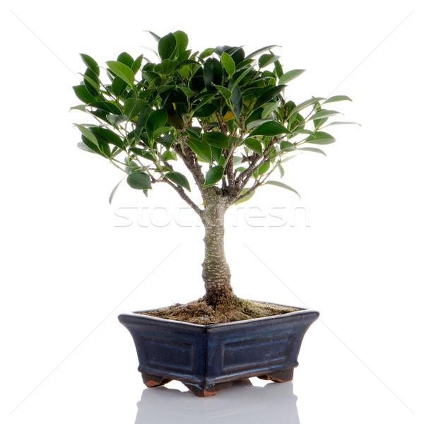 中国語 緑 盆栽 ツリー 孤立した 白 ストックフォト © homydesign