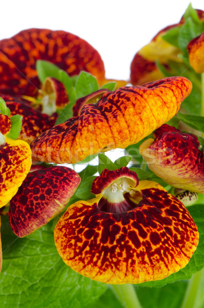 Closeup of yellow and red calceolarua flowers Stock photo © homydesign