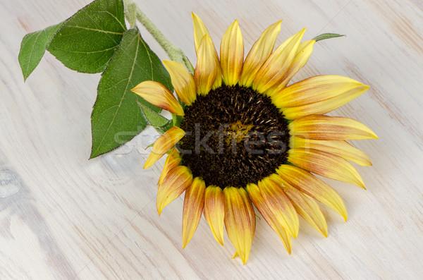 Sunflower flower Stock photo © homydesign