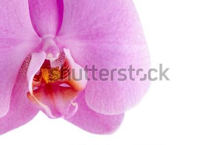 pink orchid (phalaenopsis) Stock photo © homydesign