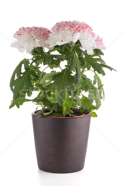 Piękna chryzantema kwiaty ciemne doniczka biały Zdjęcia stock © homydesign