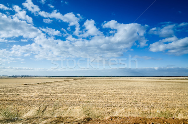Wheat field Stock photo © homydesign