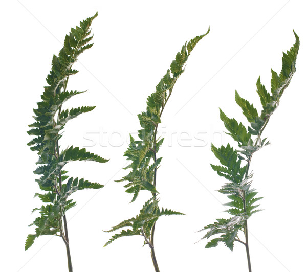 Stock photo: Fern leafs