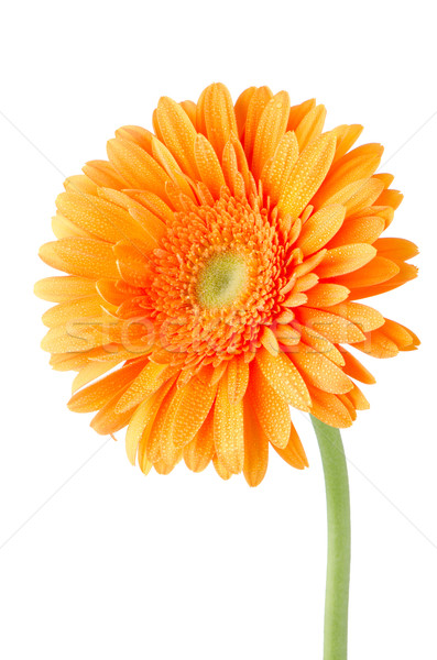 Photo stock: Orange · Daisy · fleur · isolé · blanche · rouge