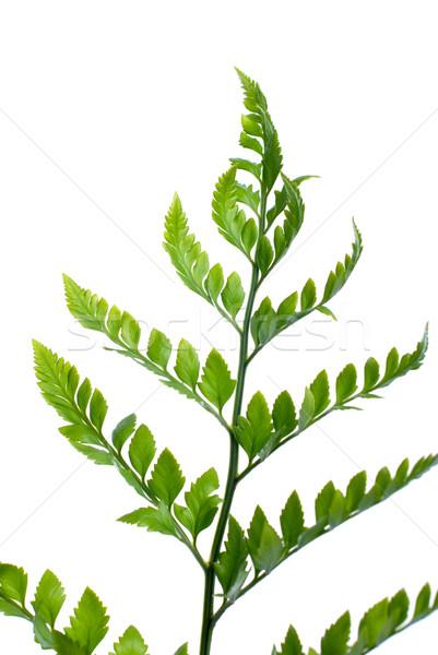 Fern leaf  Stock photo © homydesign
