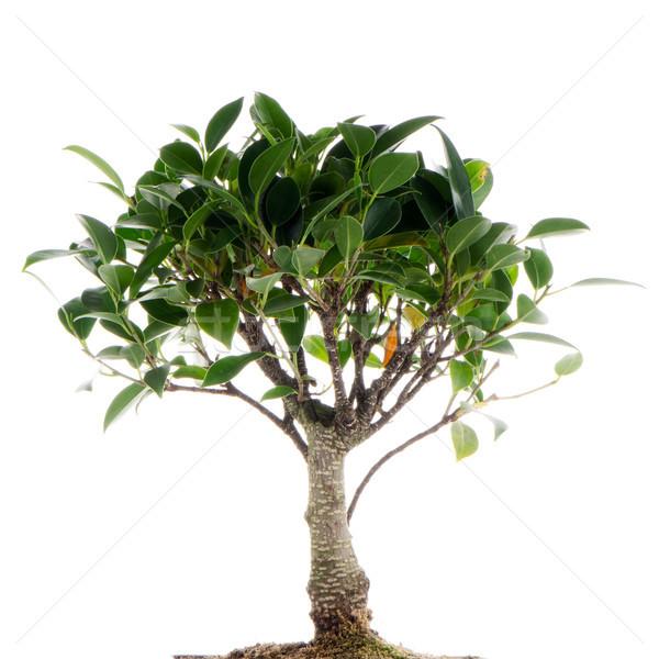 Kínai zöld bonsai fa izolált fehér Stock fotó © homydesign