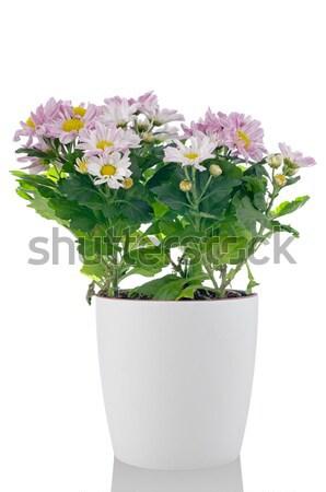 Beyaz dalya çiçekler sevmek güzellik renk Stok fotoğraf © homydesign