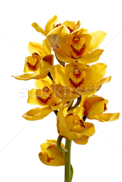 Fresh bright yellow orchid Stock photo © homydesign
