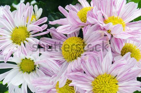 Gyönyörű krizantém virágok tavasz természet nyár Stock fotó © homydesign