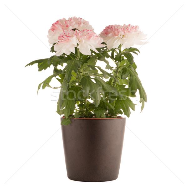 Gyönyörű krizantém virágok sötét virágcserép fehér Stock fotó © homydesign