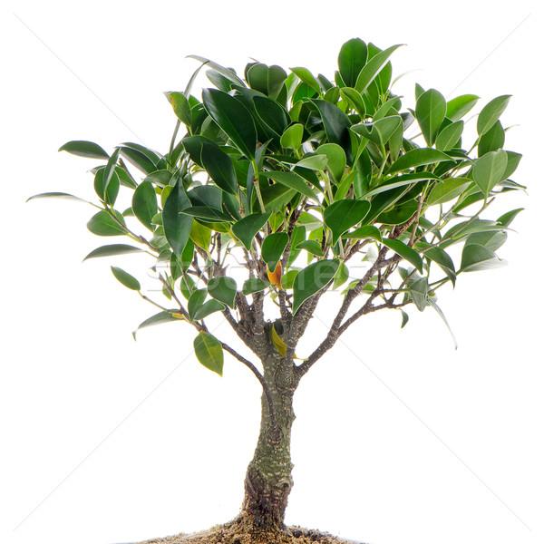 Çin yeşil bonsai ağaç yalıtılmış beyaz Stok fotoğraf © homydesign