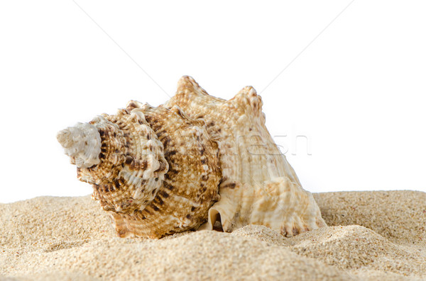 Conch shell  Stock photo © homydesign