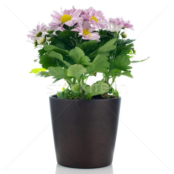 Сток-фото: красивой · хризантема · цветы · темно · цветочный · горшок · белый
