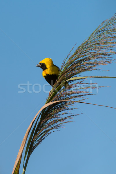 Golden Bishop bird Stock photo © homydesign