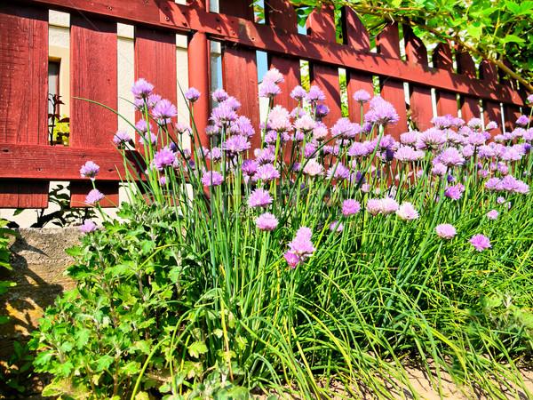 Cebollino floración jardín primavera alimentos Foto stock © hraska