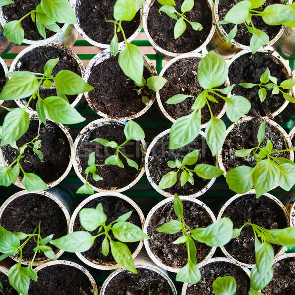 перец саженцы свежие растущий весны Сток-фото © hraska