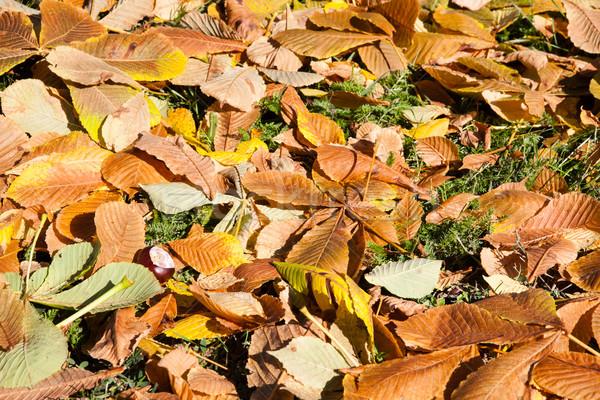 Ground with chestnut  leaves Stock photo © hraska