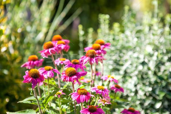 Rózsaszín virágok díszítő kert zöld szín Stock fotó © hraska