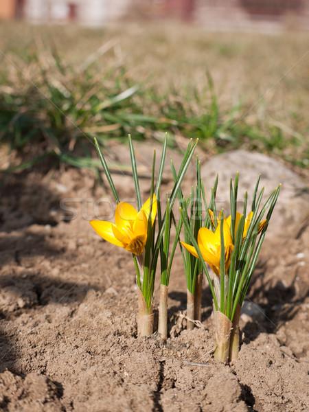Giallo crocus view presto primavera giardino Foto d'archivio © hraska