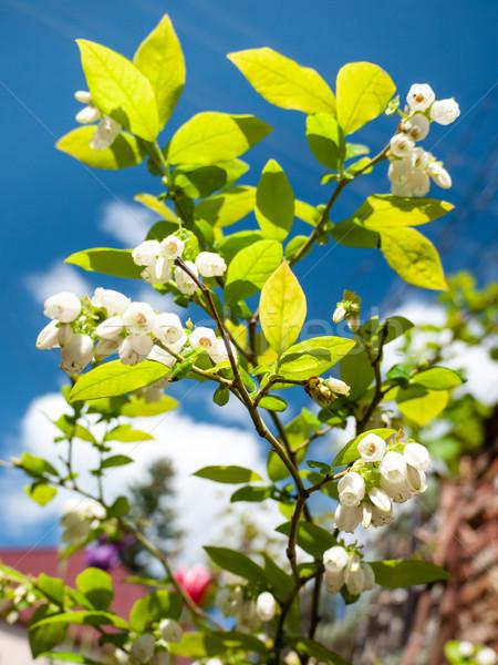 Virágzó áfonya cserje buja zöld levelek fehér virágok Stock fotó © hraska