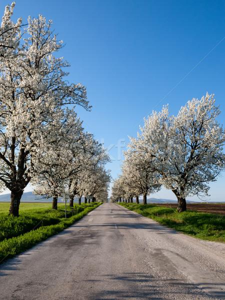 Flowering trees Stock photo © hraska