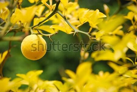Mellow lemon Stock photo © hraska