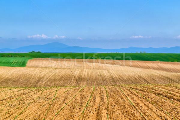 平野 ひまわり 小さな ヒマワリ 農業の ストックフォト © hraska