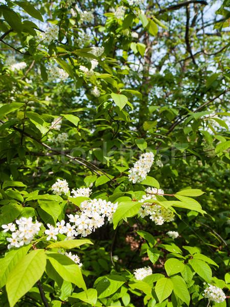 Fehér virágzó madár cseresznye fa buja Stock fotó © hraska