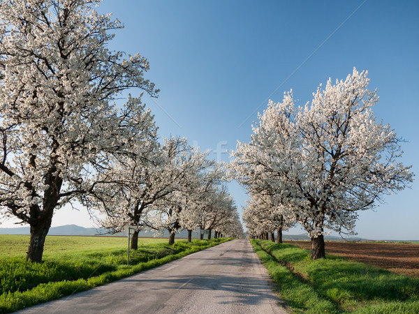 Cseresznye sikátor út eltűnik távolság virágzó Stock fotó © hraska
