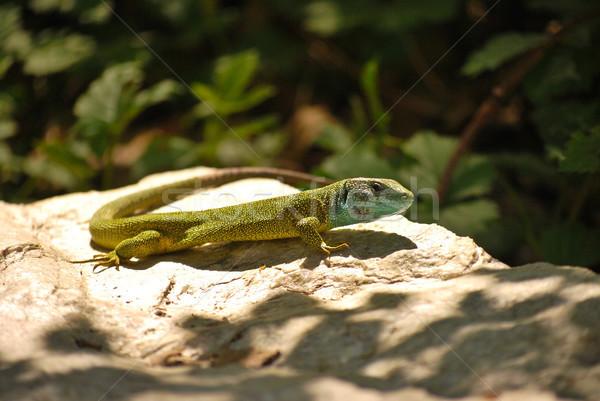 Zielone jaszczurka ciekawy ciepły kamień rodziny Zdjęcia stock © hraska