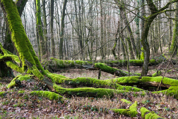 Forest bottom covered by moss Stock photo © hraska
