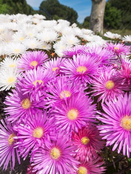 Flowering succulent shrub Stock photo © hraska