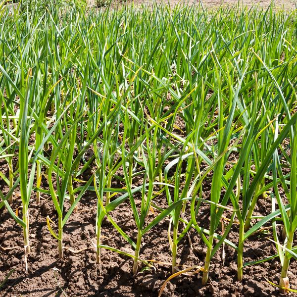 Plantaardige tuin knoflook zaailingen jonge groene Stockfoto © hraska