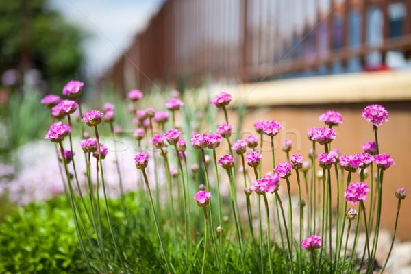 Armeria flower Stock photo © hraska