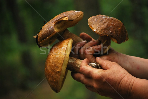 Mushrooms in hand Stock photo © hraska