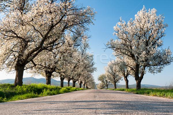 Cherry trees line Stock photo © hraska