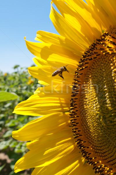 Girasole ape bella cielo natura Foto d'archivio © hraska
