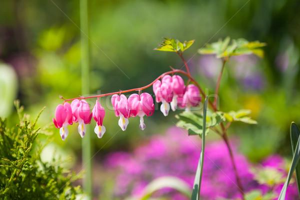 Pembe çiçek görmek kanama kalp Stok fotoğraf © hraska