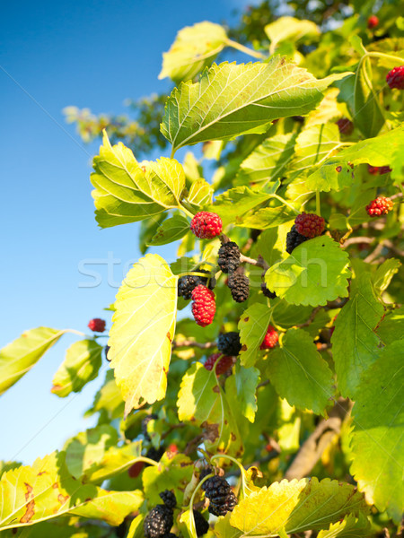 Mulberry Stock photo © hraska