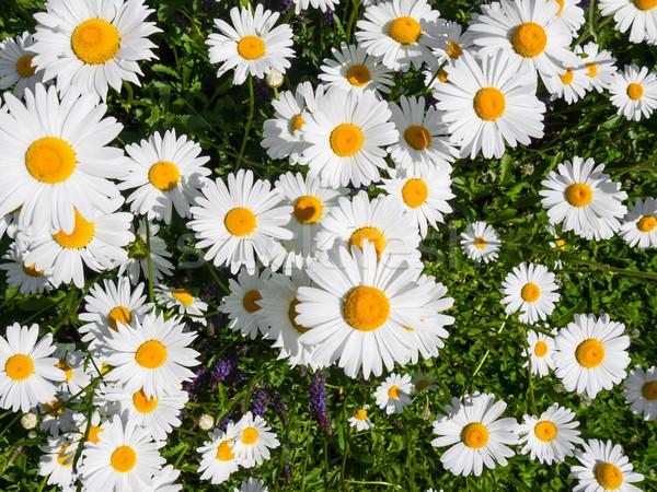 Marguerite flower Stock photo © hraska