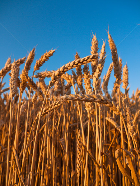 Stalks of wheat Stock photo © hraska