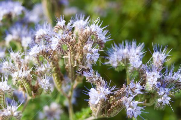 Közelkép virágok méh fű kert szépség Stock fotó © hraska